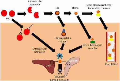 aptoglobina
